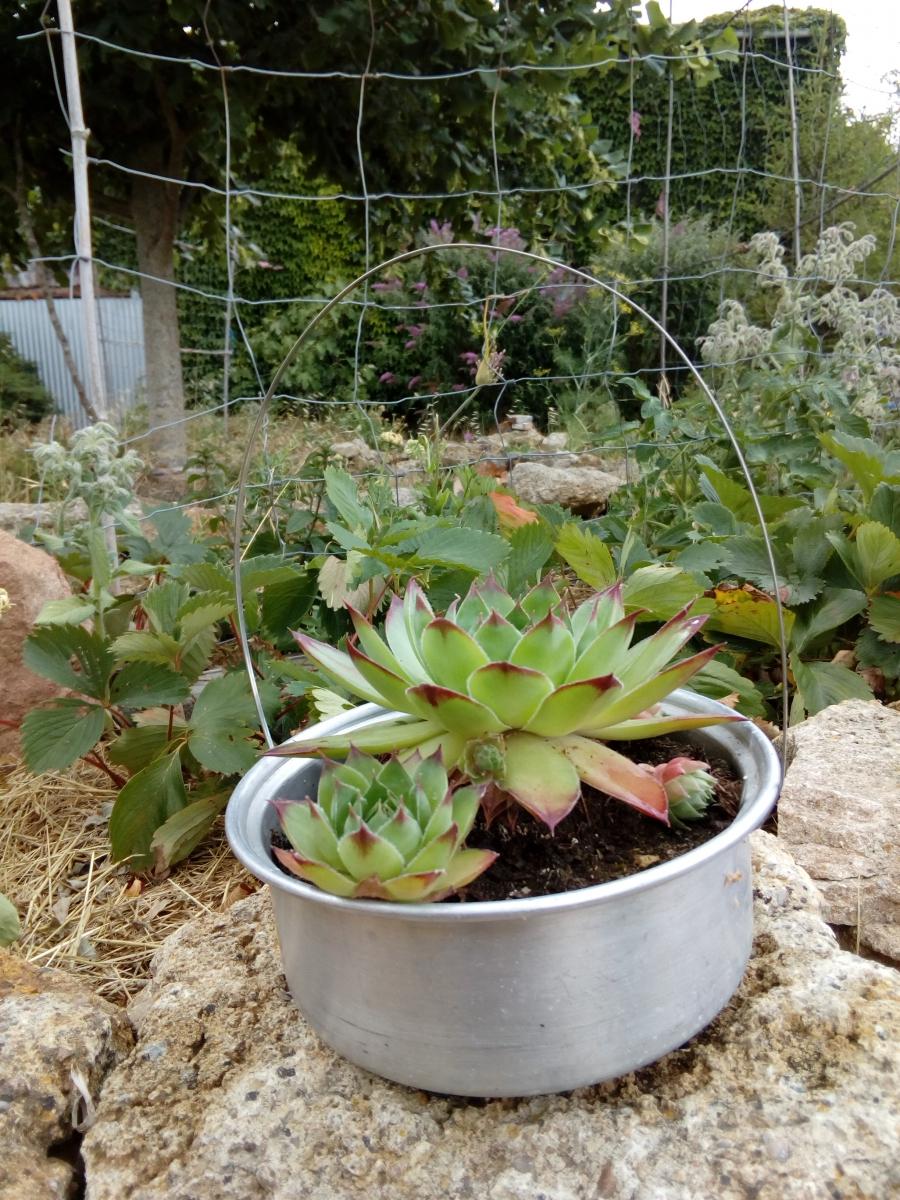 Joubarbe en casserole, création végétale par recyclage ...