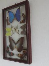 Cadre de 8 papillons de Cayenne taxidermie des années 80