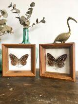 Duo de cadres papillons naturalisés