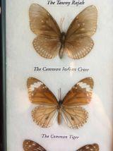 Cadre de sept papillons de Thailande naturalisés.