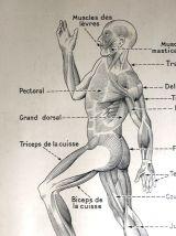 Affiche scolaire médicale vintage 50's - Muscles / Articulat