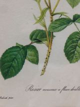 Planche botanique Rosier mousseux encadrée