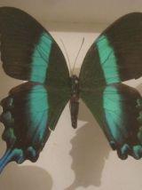 Papillon Blumei Iles Celebes encadré