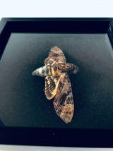 Papillon de nuit sous cadre, tableau papillon