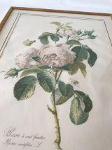 Affiche botanique rosa centifolia encadrée