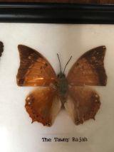 Cadre deux papillons naturalisés.