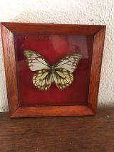 cadre un papillon naturalisé.