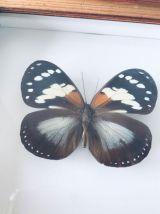 Cadre ancien papillon naturalisé