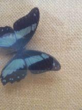 Vitrine Nuée de Papillons et scarabées naturalisés Entomolog