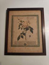 lithographie ancienne de rose