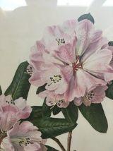Planche botanique Rhododendron Oreodoxa par Riefel.