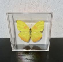 PAPILLON DU PEROU COLLECTION
