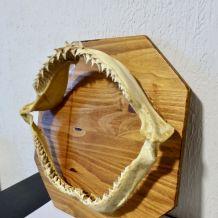 mâchoire requin