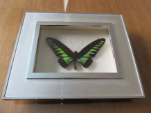Cadre papillon Ornithoptera Brooking taxidermie