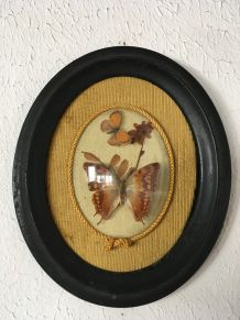 Cadre  deux papillons naturalisés , style Napoléon III.