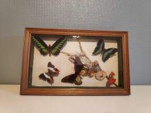 cadre rectangulaire 5 papillons naturalisés