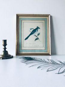 Lithographie ancienne encadrée oiseau, Geai bleu du Canada