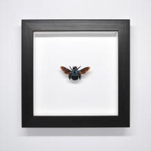 Cadre - Xycoclopa Caerulea - abeille bleue  asiatique