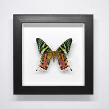 Cadre - Chrysiridia rhipheus - papillon véritable