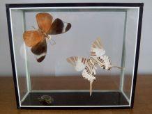Vitrine de 2 Papillons exotiques et scarabée Entomologie