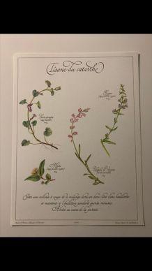 Planche botanique tisanes précieuse