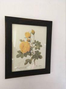 "Planche botanique ""Rosa sulfurea""."