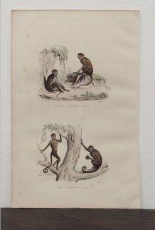 Lithographie gravure singes vintage - 1850