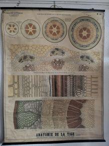Carte deyrolle numéro 56 anatomie de la tige