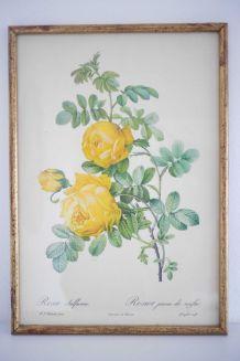 Impression botanique Rosier jaune