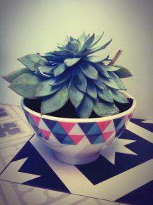 Plante grasse Echeveria dans son petit bol