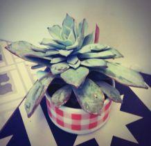 Plante grasse Echeveria dans sa tasse vintage