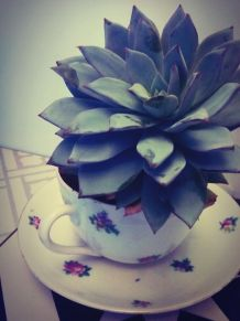 Plante grasse Echeveria dans sa petite tasse fleurie