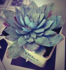 Plante grasse Echeveria dans sa boîte à thé