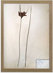 Herbiers vintage encadrés, cadre chêne, datés de 1924, lot d