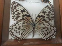 Cadre papillons naturalisés
