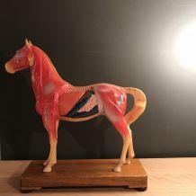 Petit cheval plastique muscles