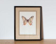 Papillon - Planche d'histoire naturelle