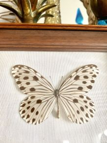 Cadre papillon naturalisé