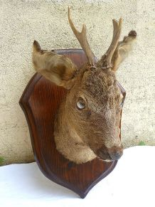tete de chevreuil , taxidermie, vintage