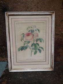 Planche botanique rose de jardins encadré