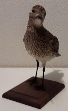 Taxidermie oiseau pluvier doré