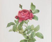 Planche de botanique Redouté