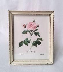 Impression  botanique  dans cadre de Pierre-Joseph Redouté