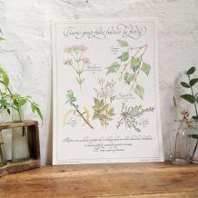 Affiche botanique Tisane pour faire baisser la fièvre