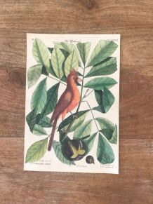 Planche ornithologique ancienne