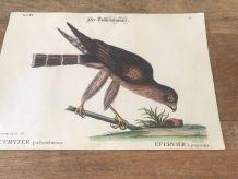 Planche ornithologique ancienne, affiche oiseau épervier
