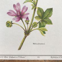 Planche botanique Mauve