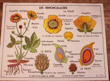 Affiche scolaire botanique