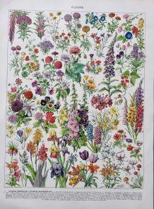 Illustration Millot Fleurs annuelles