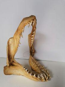 Mâchoire requin mako taxidermie curiosité